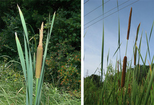 typha lat and ang - michigan flora.jpg